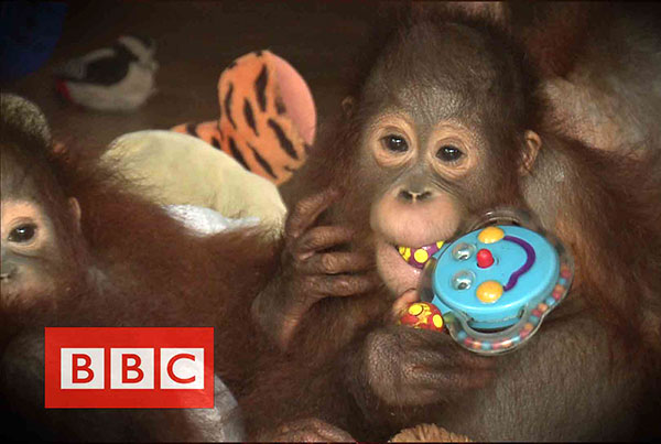 BBC : Orangutans in the haze