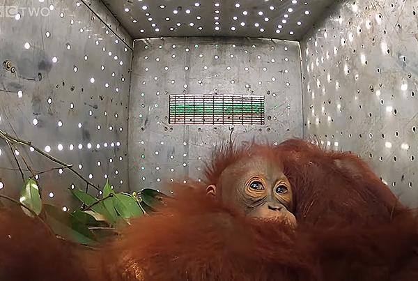 BBC – Orangutans: The Great Ape Escape